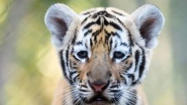 Footage confirms second breeding population of Indochinese tigers in Thailand