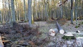 Poland faces EU deadline to curb cutting of trees in world heritage forest