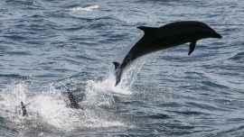 Dolphin Found Dead in Florida With 6-inch Deep Stab Wound