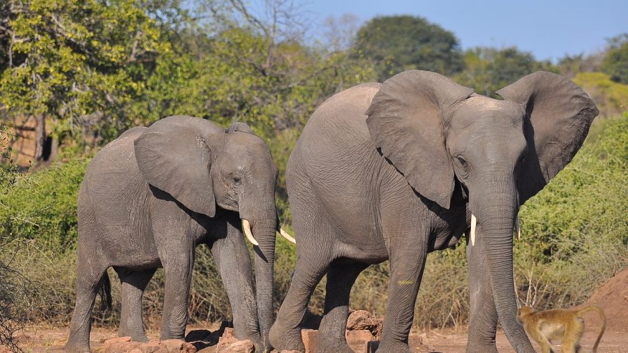 A Man Was Just Killed By An Elephant During Cruel Trophy
