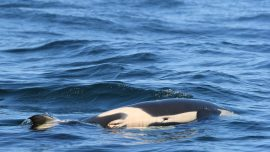 Orca Who Carried Her Dead Calf for 1,000 Miles Is Pregnant