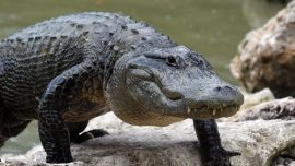 Alligator Blocks Runway at Air Force Base in Florida