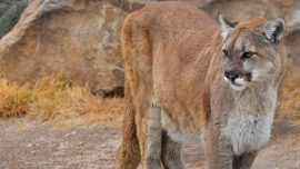 Colorado Boy Bitten on Head by Mountain Lion While Playing Outside