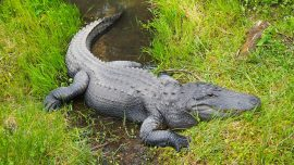 Pictured: An Alligator With a Knife in Its Head Just Kept Swimming