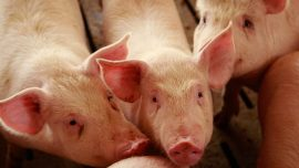 Fever Could Kill a Third of China's Pigs. That's Almost as Many as Live in the US and Europe Combined