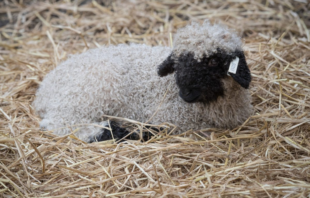 Valais Blacknose sheep 5