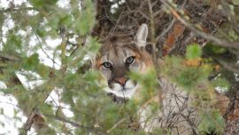 Hunters Who Illegally Killed Mountain Lion in Yellowstone Left Trail of Pictures