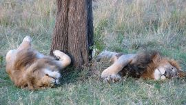 Couple Kiss Kneeing Behind a Lion They Just Killed, Then Post Pictures on Facebook