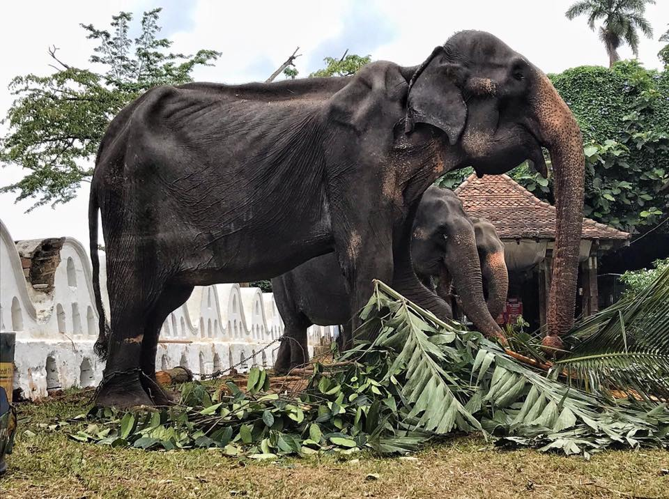 Tikiiri, a 70-year-old ailing female elephant