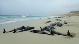 136 Dolphins Dead in a Mass Stranding on Cape Verde Islands