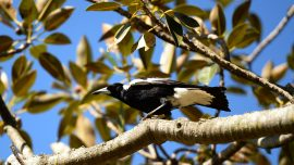 Swooping Magpie Causes Fatal Crash for Cyclist on NSW Road