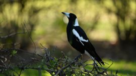 Australia Man Dies While Trying to Avoid a Swooping Magpie