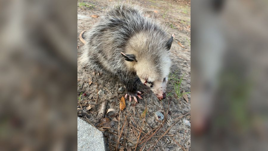 Baby Opossum Beaten Until Blinded on Hilton Head Golf Course