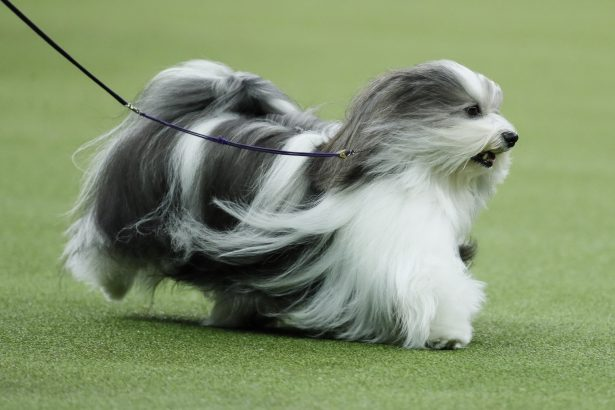 Bono, the Havanese-144th Westminster Kennel Club dog show