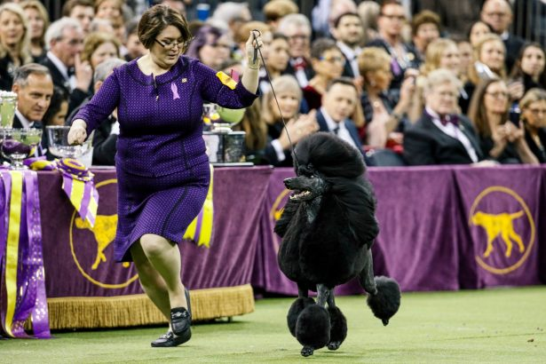 Siba, the standard poodle- wining Best-144th Westminster dog show