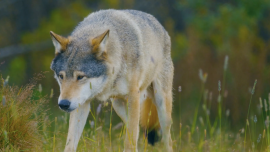Wolf Debate in Germany: To Shoot or Not to Shoot