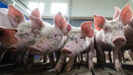 German Pork Industry's China Connection