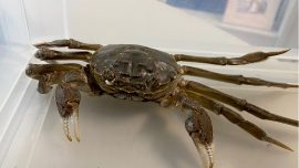 Large Chinese Mitten Crab Crawls Into German Woman's Home