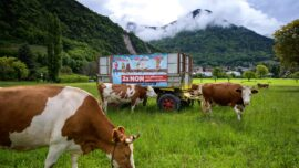 Thousands of Cows Make Annual Trip Down the Swiss Alps