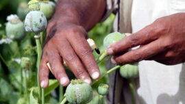 Taliban Likely to Produce More Opium: Expert