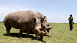 One of World's Last Two Northern White Rhinos Dropped From Race to Save the Species